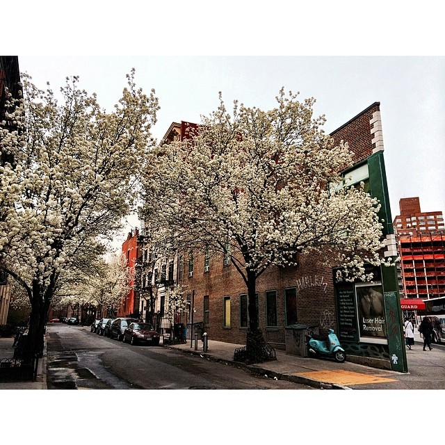Spring in the West Village. #nyc #spring #newyork #manhattan #tree #city #urban